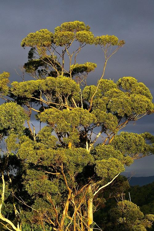 L'Eucalyptus peut aller jusqu'à 50 mètres de haut.